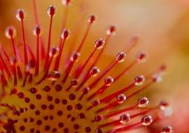 Drosera Rotundifolia (Ronde Zonnedauw)