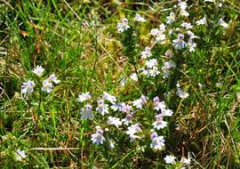 Euphrasia Officinalis (Stijve Ogentroost)
