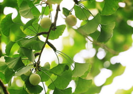 Ginkgo Biloba (Japanse Notenboom)