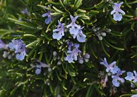 Rosmarinus Officinalis (Rozemarijn)