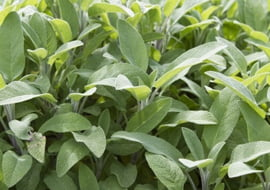 Salvia Officinalis (Salie)