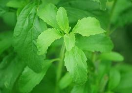 Stevia rebaudiana (Honingkruid)