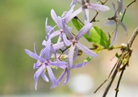 Vincetoxicum Officinalis (Witte Engbloem)