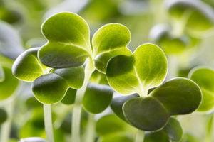 Broccolispruiten beschermen de maag