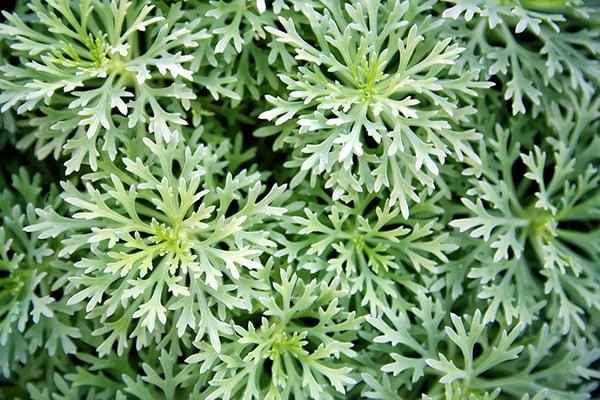 Artemisia Annua (zomeralsem)