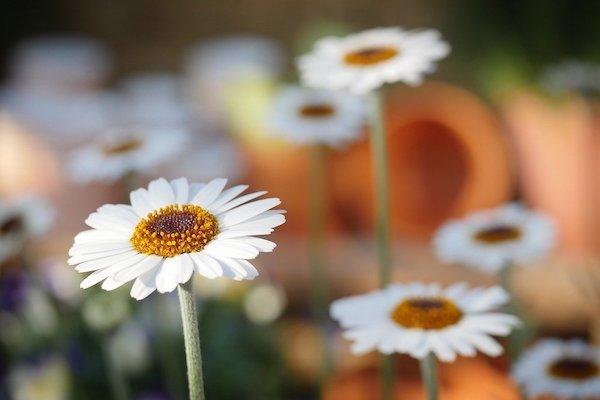 bells-perrenis-homeopathie